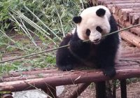 Panda eating bamboo Annette small