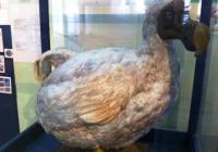 Dodo in Mauritius