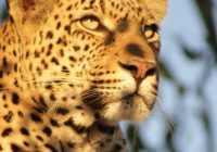 itinerary_sq_2South-Africa-Kruger-Leopard-FT-4637236-Md-RGB