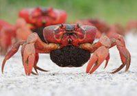 Blog Red Crab (Rhiannon Bird)